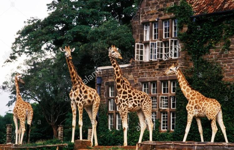 rothschild-giraffe-at-giraffe-manor-kenya-A8P25K